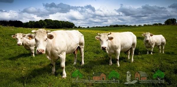 Молодые бельгийские коровы на пастбище
