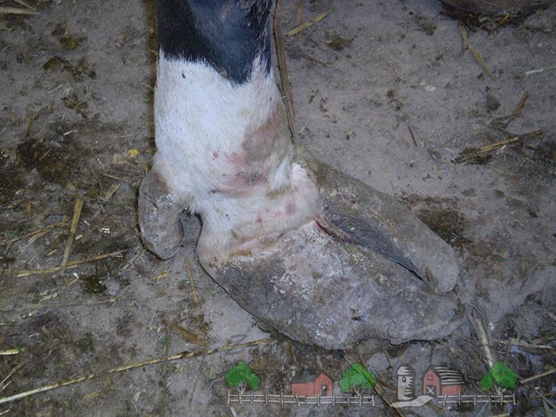Всевозможные болезни копыт у коров, их симптомы и лечение