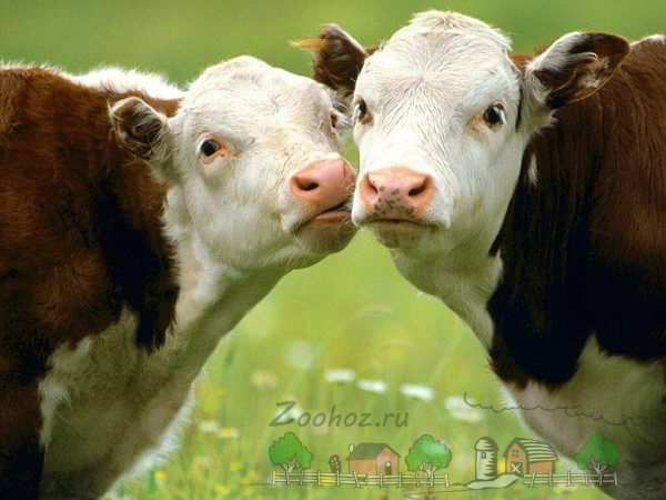 Обзор породы коров Герефорд, их фото и видео