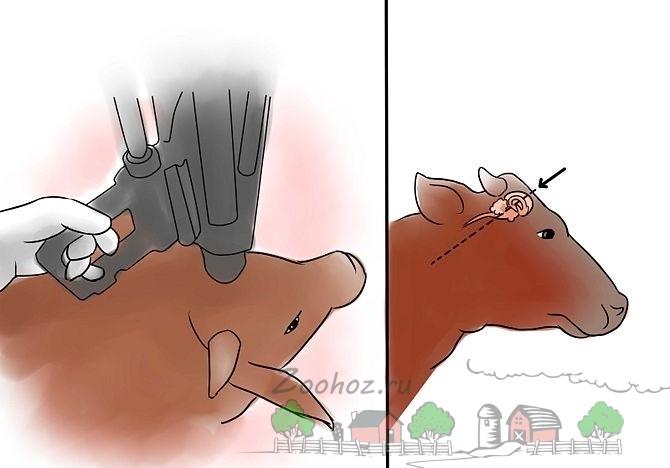 Забой коровы механическим пистолетом