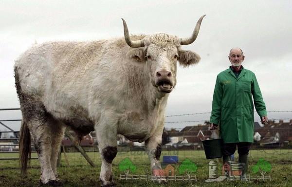 Гигансткий бык-осеменитель в сравнении с человеком