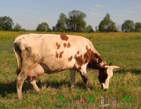 Айрширская порода коров: описание и отзывы, фото и видео