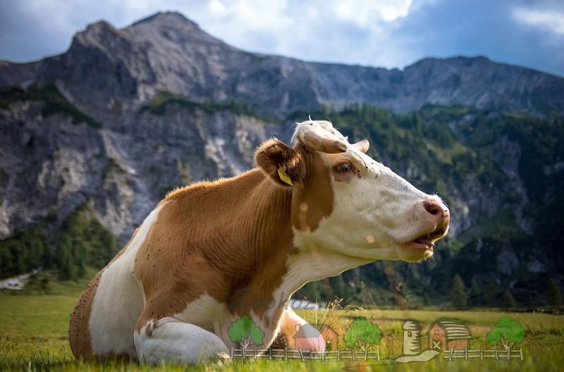 Корова с рогами лежит на траве