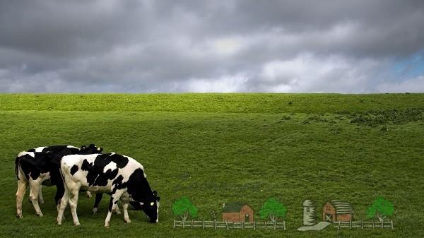 Голштинская коровы кушают траву на пастбище