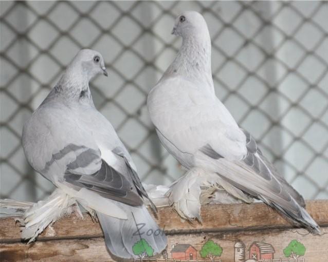 Птицы породы касаны в клетке