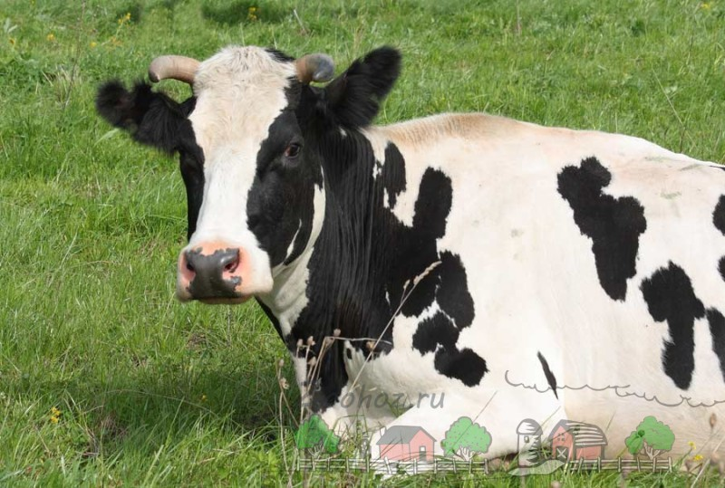 Домашняя корова отдыхает на лугу