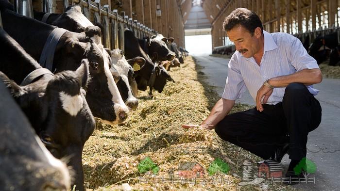 Кормление высокопродуктивных молочниц на ферме