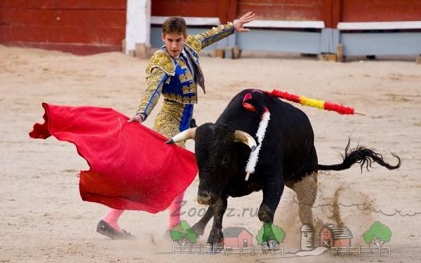 Матадор вызывает реакцию быка