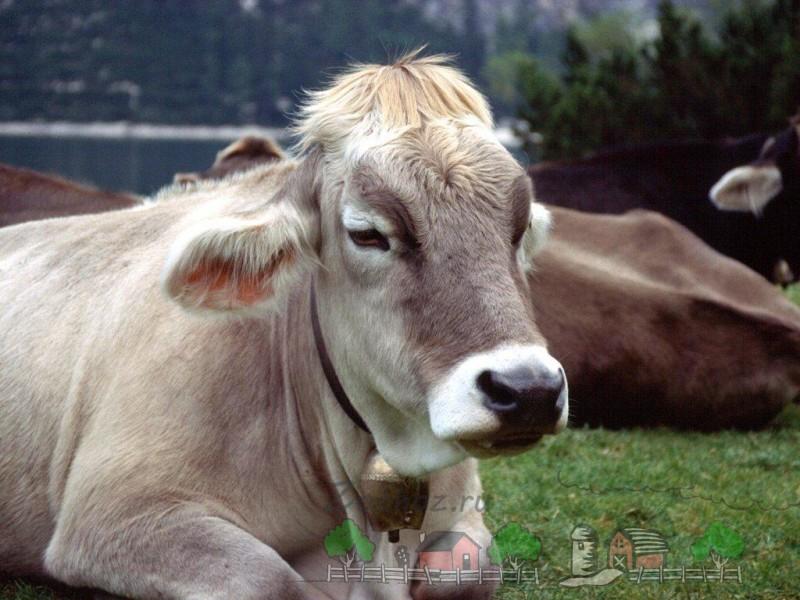 Сколько желудков есть у коровы: обзор строения и фото