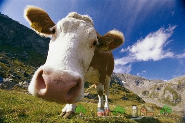 Корова крупным планом