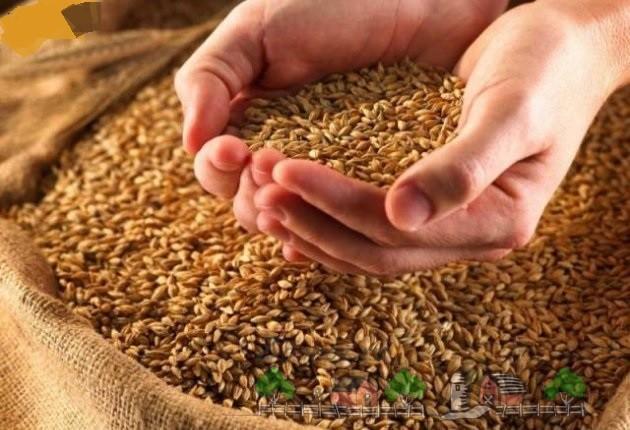Сухое зерно в мешке и ладонях