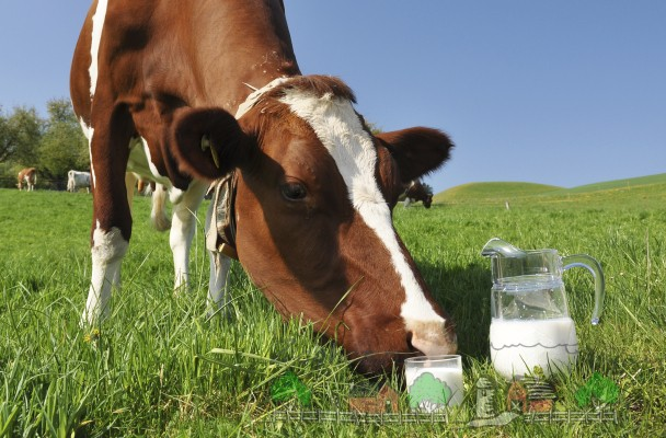 Корова на лугу и свежее молоко
