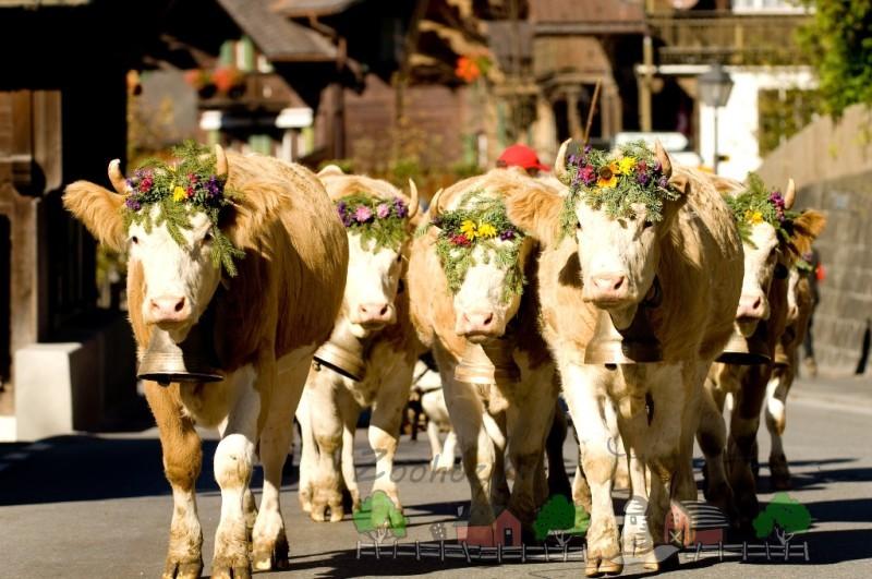 Коровы-долгожители, украшенные цветами