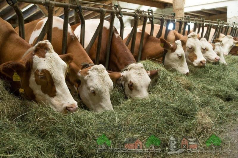 Молочные буренки на ферме едят сено