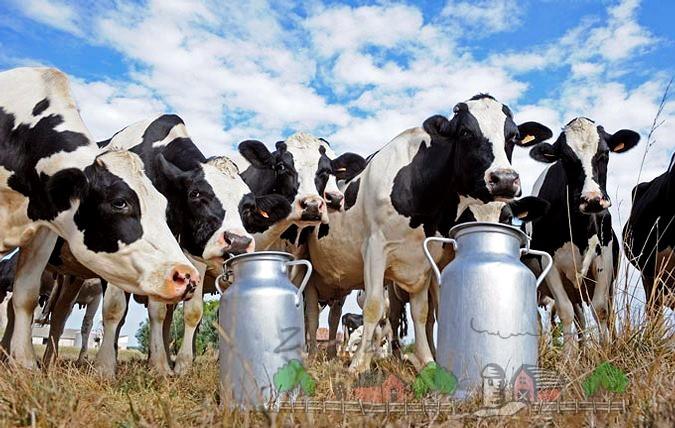 Коровы и бидоны с молоком