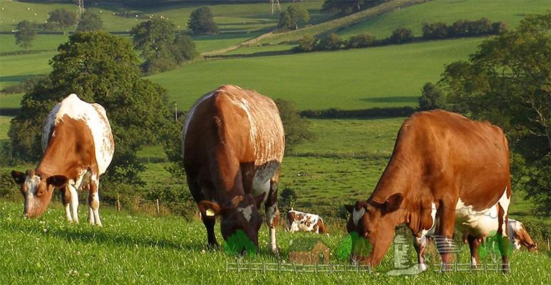Стадо коров пасутся на зеленой траве