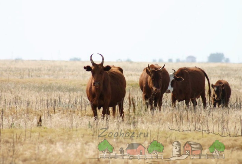 Коровы калмыцкой породы в сухой степи