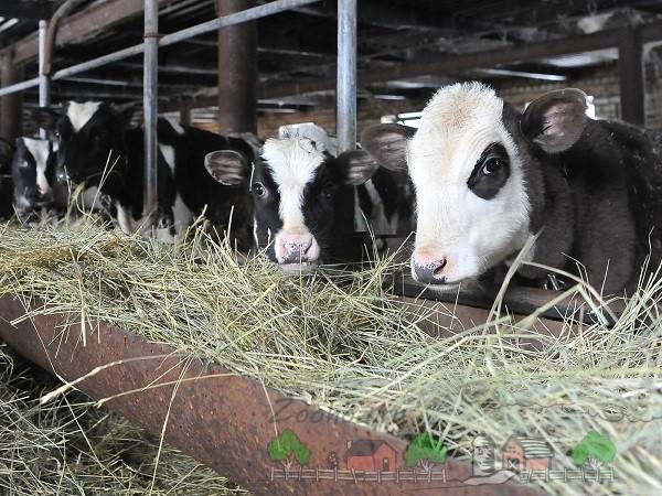 Голштинские коровы питаются сеном