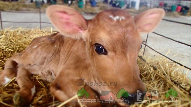 Рыженький теленок на ферме