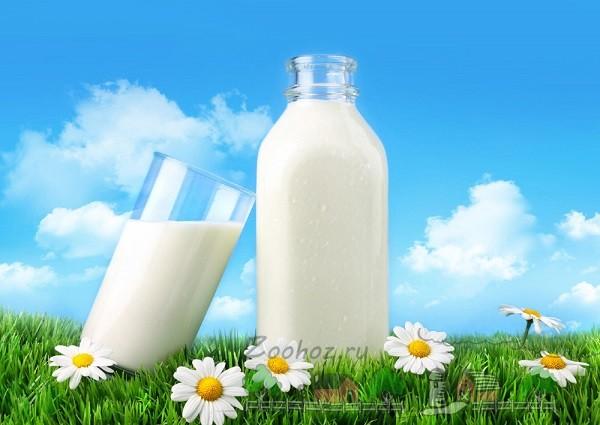 Чистое молоко здоровой коровы