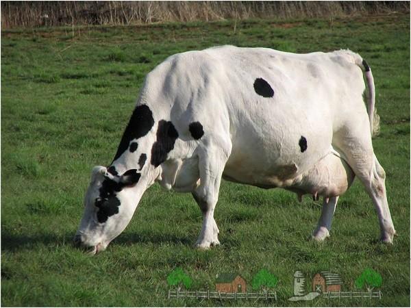 Здоровая белая корова пасётся на пастбище