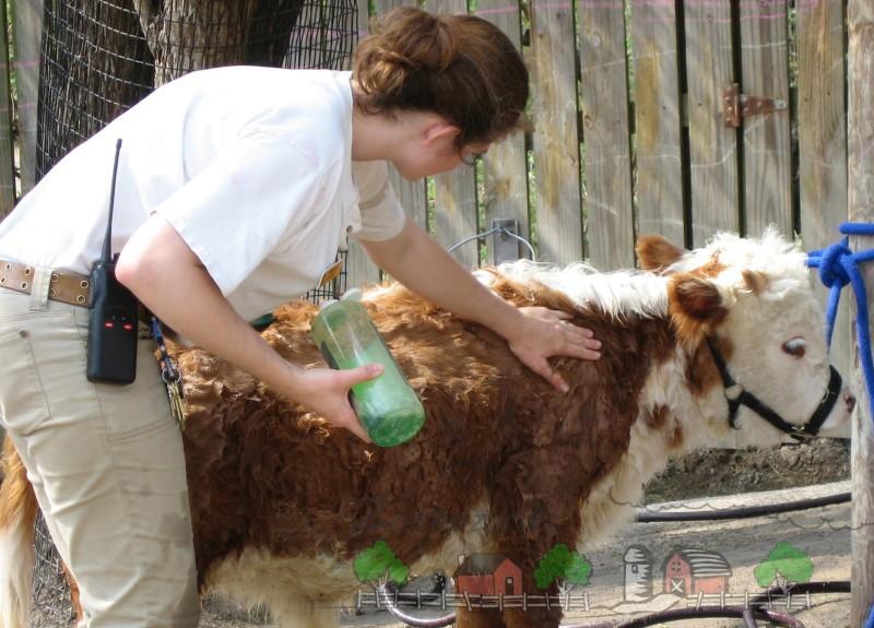 Обработка шерсти теленка