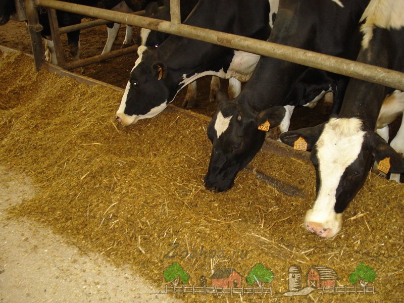 Молочные буренки едят сено
