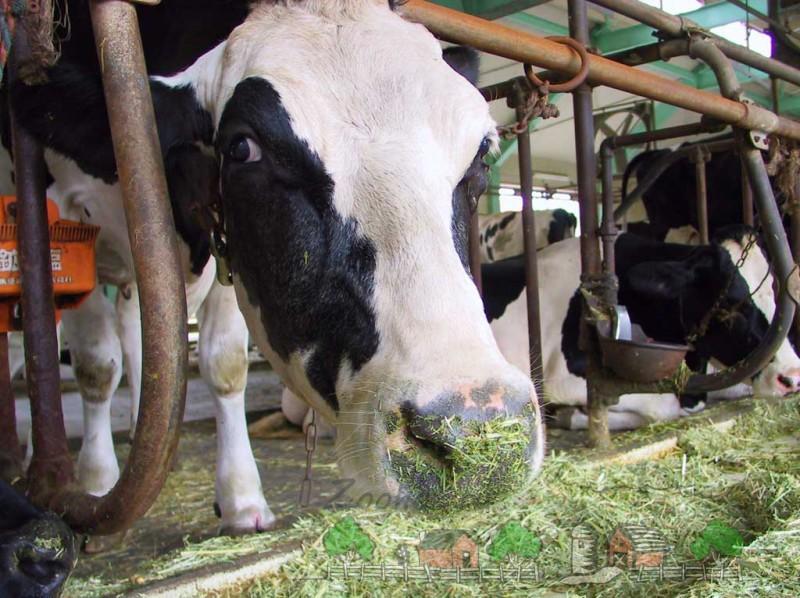 Корова с испачканным носиком в силосе