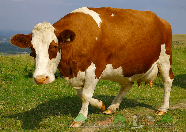 имя коровы: