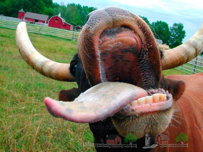 Буренка показывает зубы и язык