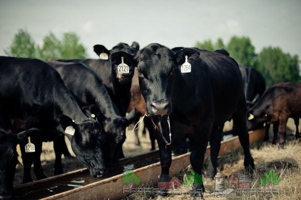 Чёрный окрас ярославской коровы