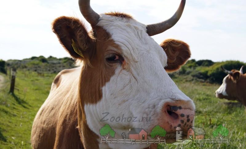 Голова коровы с ушками