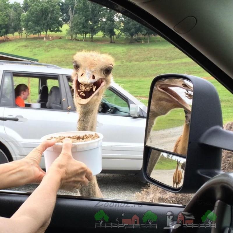 Смешной страус есть корм из ведерка