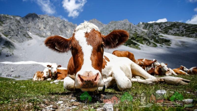 Пятнистая рыжая корова лежит на лугу