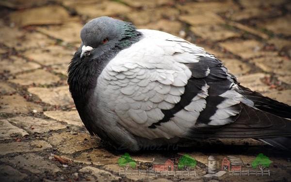 Здоровый голубь на прогулке