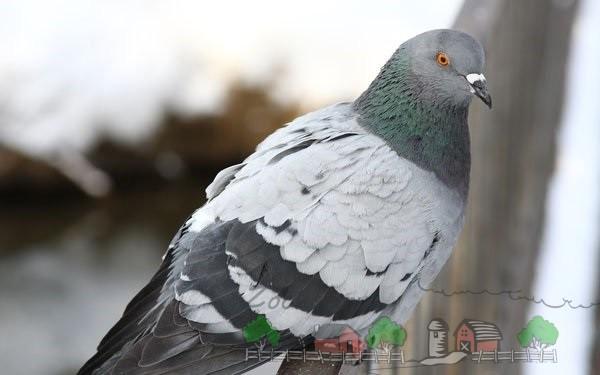 Красивый голубь сидит на мосту