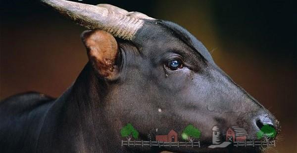 Обзор карликовых мини буйволов, их описание и фото