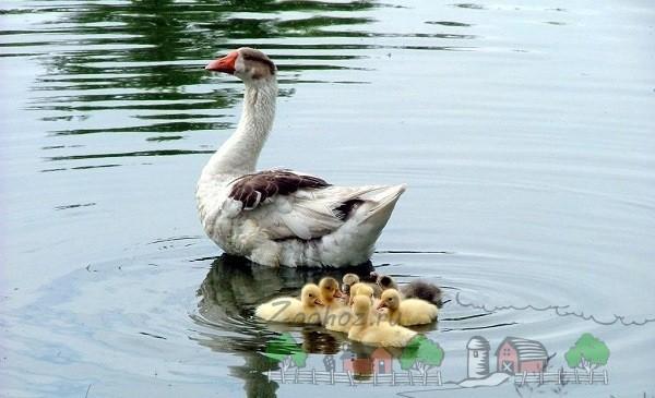 Домашний гусь плавает с маленькими гусятами