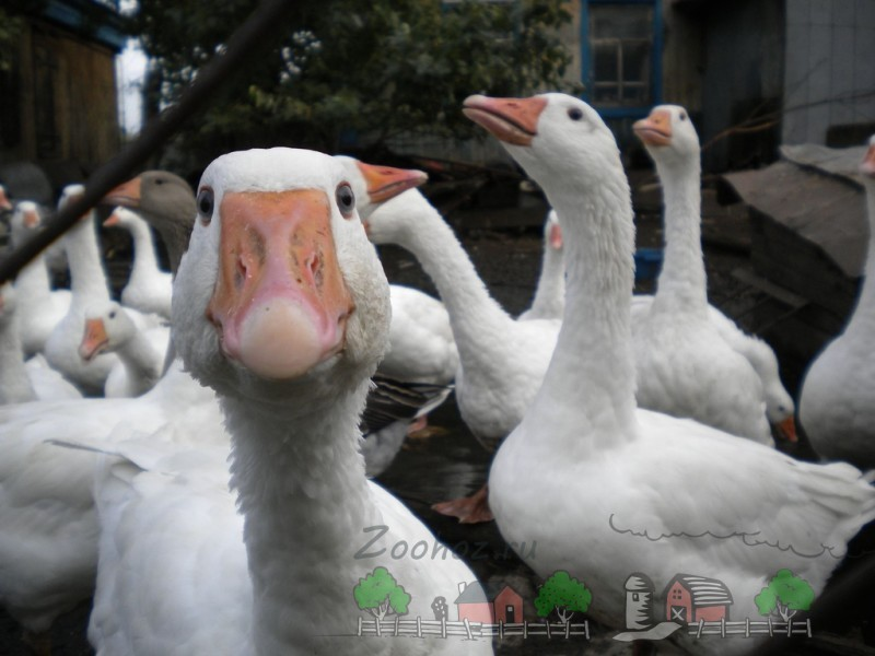Птицы крупным планом во дворе