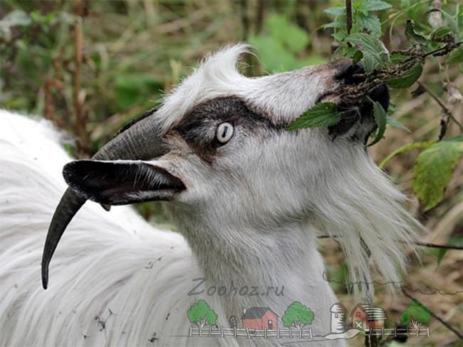 Коза ест ветку дерева