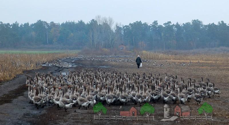 Стадо серых гусей направляется к водоему