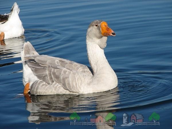 Холмогорская порода в воде