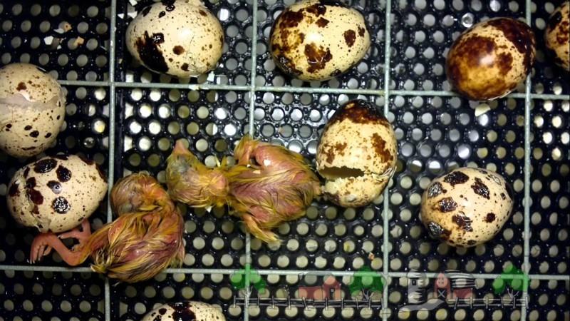 Как проходит инкубация перепелиных яиц: обзор и фото