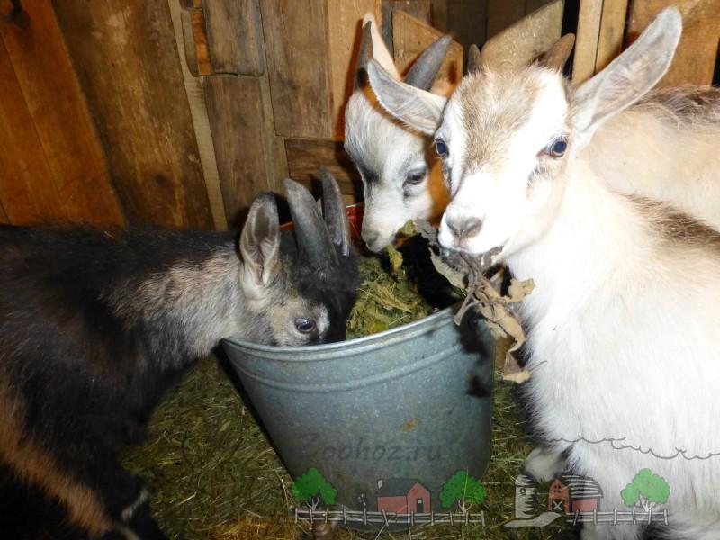 Козлята едят корм из ведра