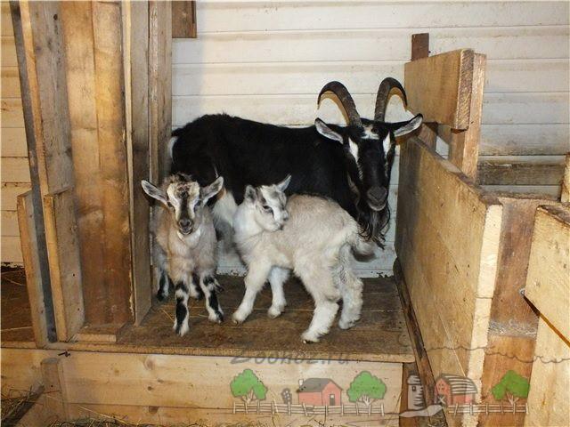 Коза с маленькими козлятами