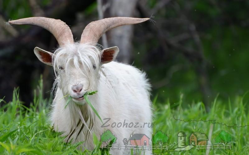 Чем отличается коза от козла и как их различить