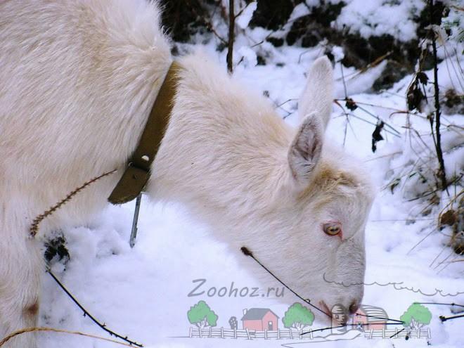 Коза зимой на выгуле
