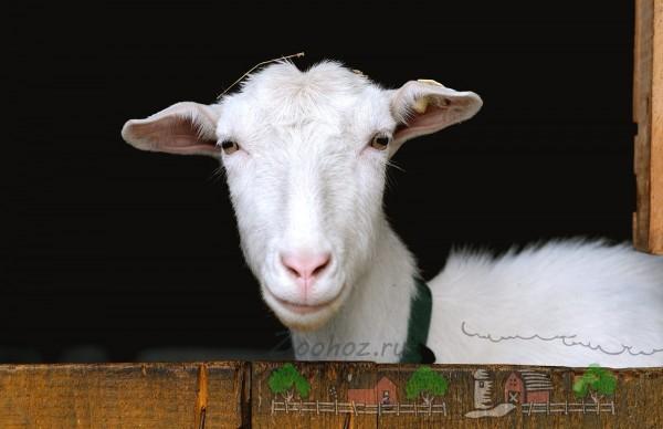 Мордочка белой домашней козы