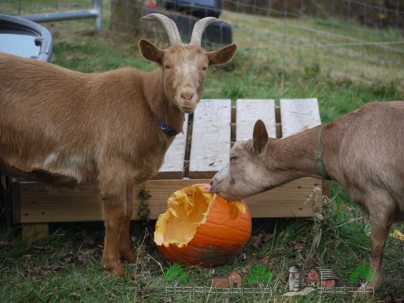 Козы едят тыкву