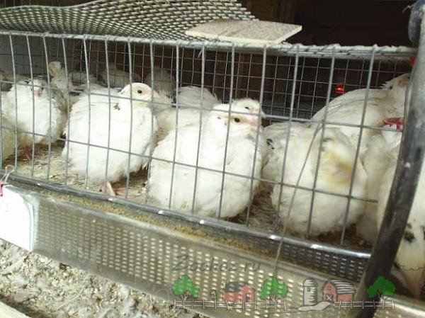 Белые техасские перепела сидят в клетке